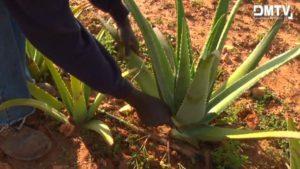Aloe vera Ernte per Hand - Aloe vera Farm Mallorca