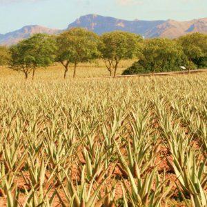 Bio zertifizierte Plantage von Aloe vera Mallorca