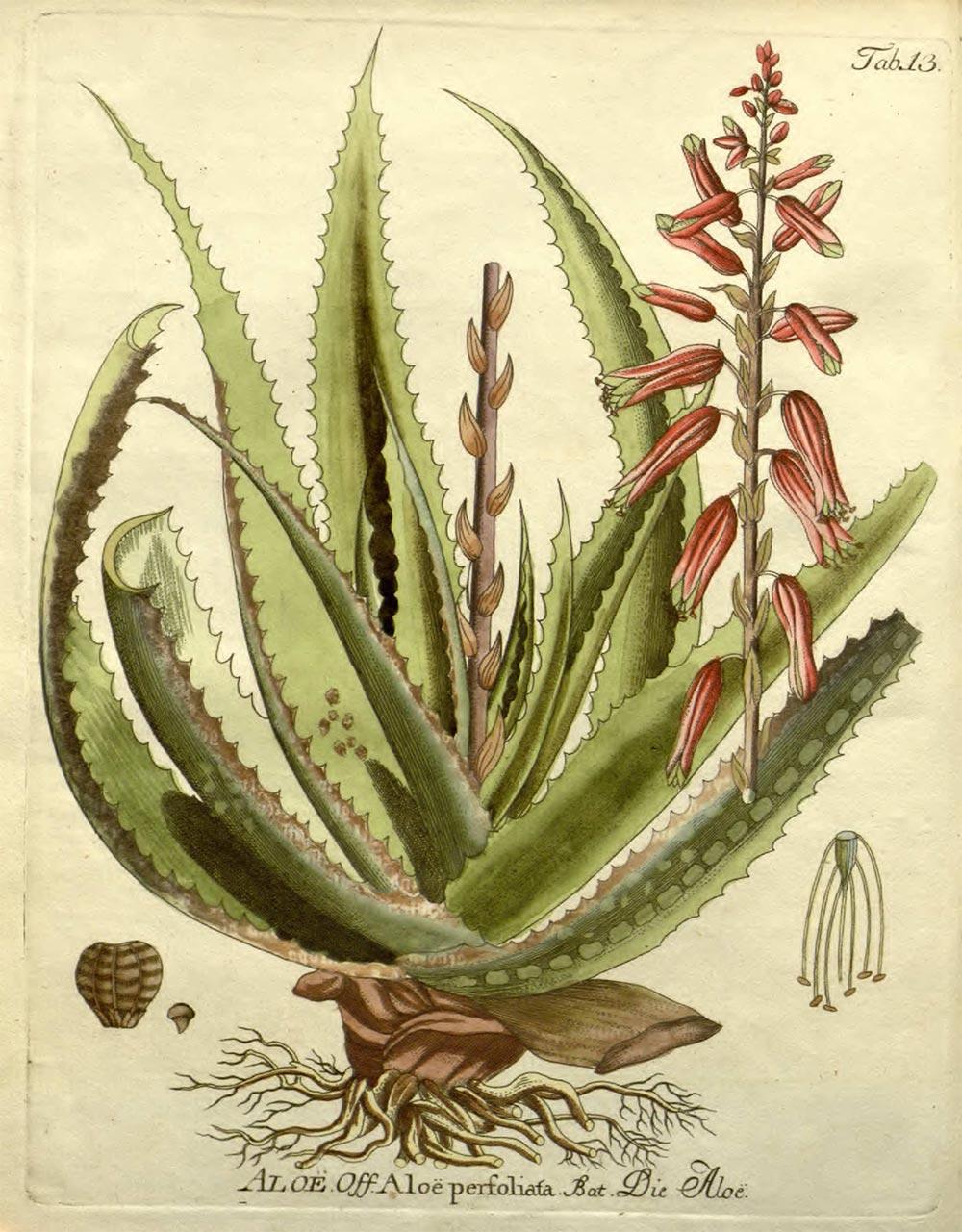Zeichnung einer Aloe vera Pflanze