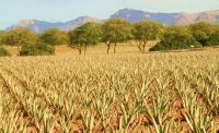 Aloe vera Plantage im 21. Jahrhundert
