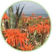 Aloe Vera Pflanzen in Blüte auf Mallorca