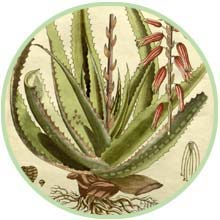 Botanik der Pflanze Aloe vera Barbadensis Miller