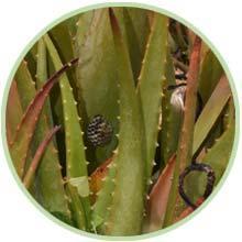 Form eines Drachenschwanzes: das Aloe Vera Blatt