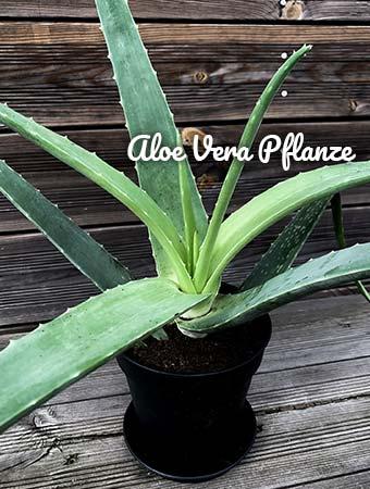 Aloe vera Pflanze kaufen
